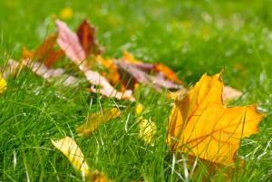 A few autumn leaves fallen on green grass